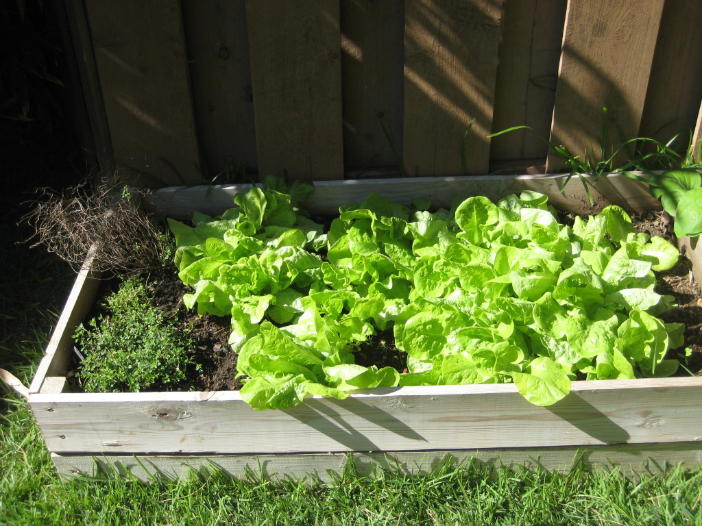 raised bed with lettuce and thyme